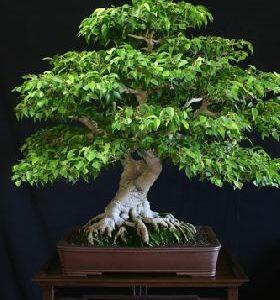 Pianta di Ficus gratis !!